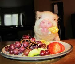 Pig blog mini pig info - What do miniature pigs eat ...
