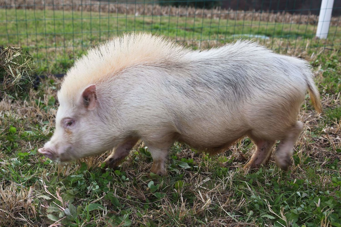 A Blog About Various Topics That May Affect Mini Pigs