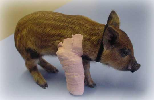Basic Wound Care For Mini Pigs Mini Pig Info