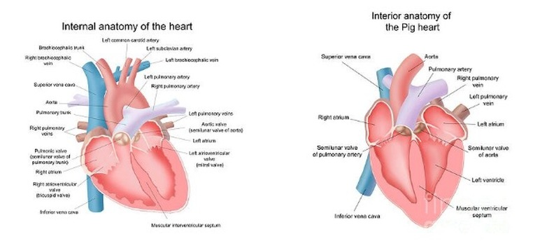 Pig anatomy and terminology mini pig info cardiac pig heart compared to human heart ccuart Choice Image