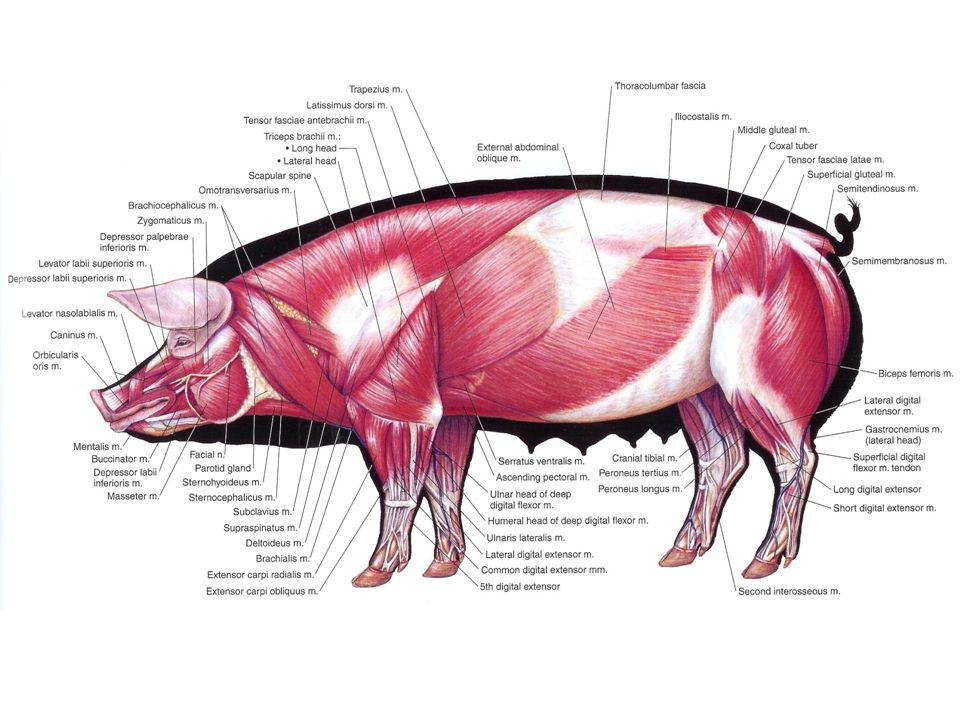 Pig Anatomy And Terminology Mini Pig Info