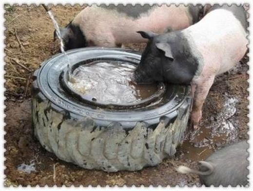The Importance Of Water And Mini Pigs Mini Pig Info