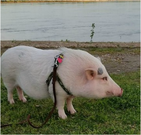 Image result for mini pig