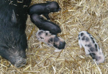 piglets with mama pig
