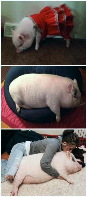mini pig growth