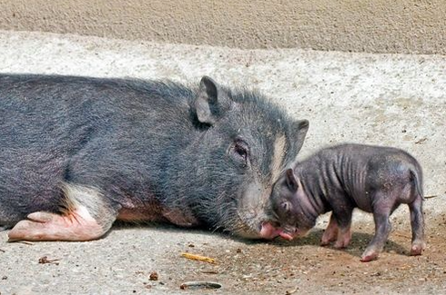 piglet and mini pig