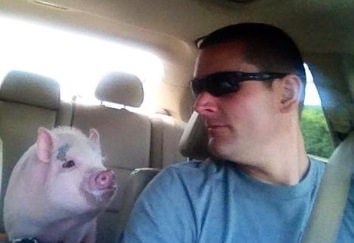 Mini Pig Riding In A Car