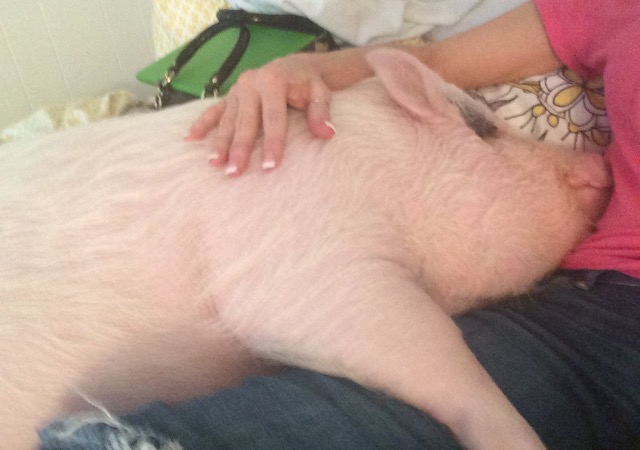 pig laying on a lap