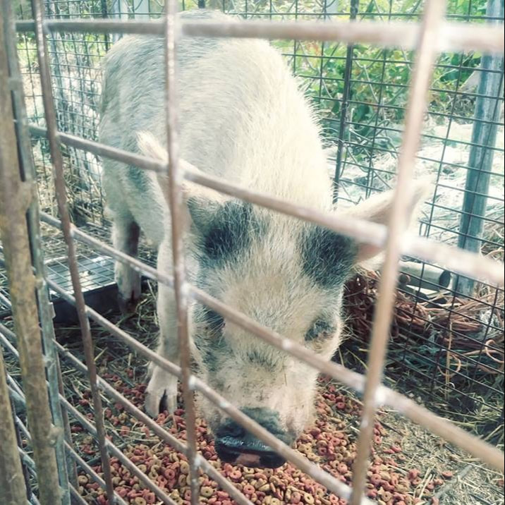 Mini Pig Captured By Animal Shelter