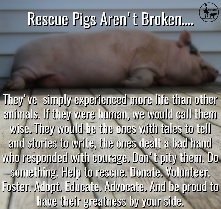 Aggressive Mini Pigs- How To Correct Aggression Issues