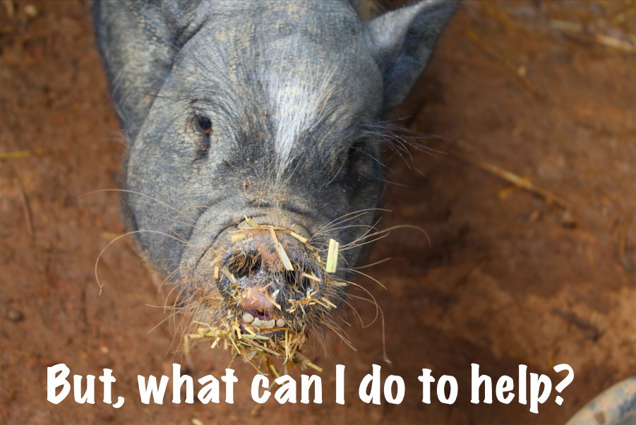 Pig Rescue Organizations/Networks: What You Can Do To Help