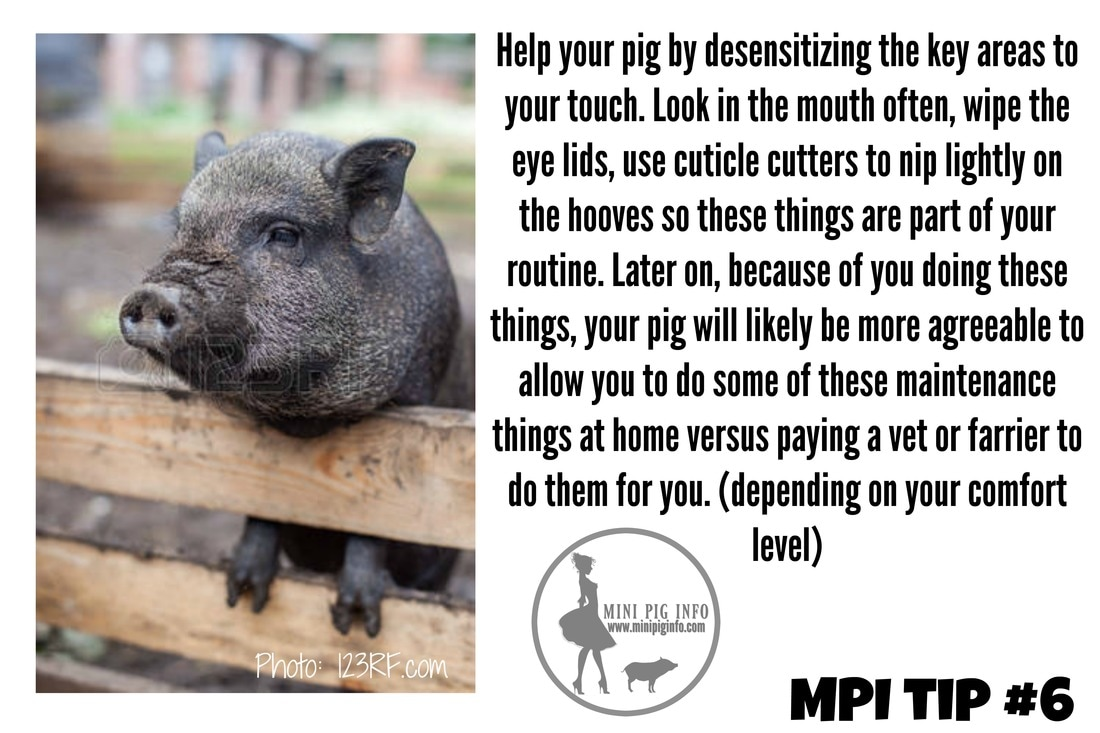 Perfectly Imperfect Pig Parent Tips Mini Pig Info