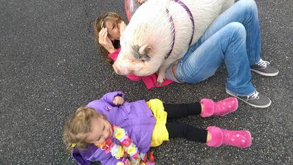 pig stepping on handler
